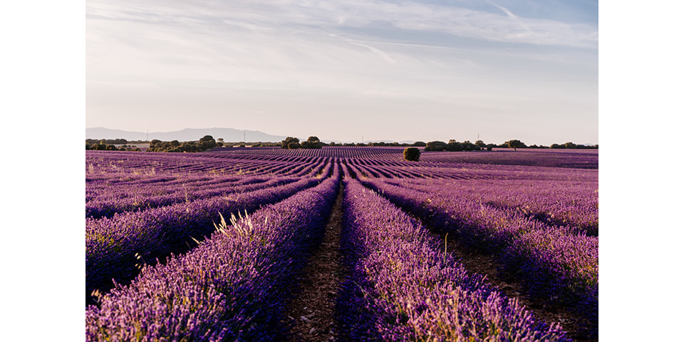 DrEberhardt-Aromatherapie-Blog-lavendel-hoch-jpegmini